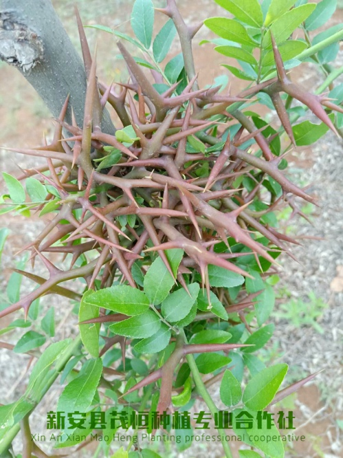 皂角树该如何种植,需要注意哪些问题呢?