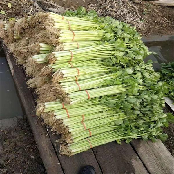 芹菜种植基地